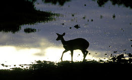 Antelope at an African waterhole Stock Image