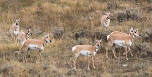 Antelope On Alert Royalty Free Stock Photos