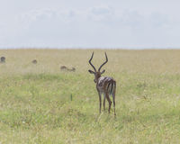 Antelope. In Amboseli National Park in Kenya Royalty Free Stock Photos