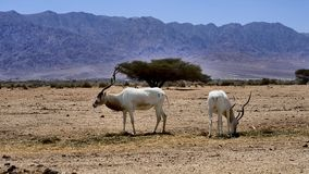 Antelope, the Arabian addax in nature reserve, Israel Stock Photography