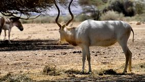 Antelope, the Arabian addax in nature reserve, Israel stock video footage