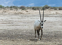 Antelope, the Arabian oryx Stock Photos