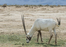 Antelope, the Arabian oryx Stock Photo