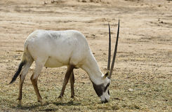 Antelope, the Arabian oryx Stock Image
