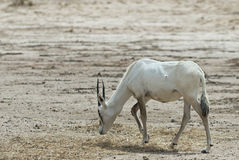 Antelope, the Arabian oryx Royalty Free Stock Photo