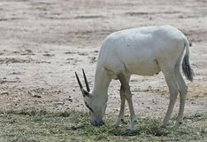 Antelope, the Arabian oryx Stock Photography