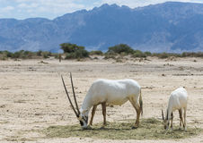 Antelope, the Arabian oryx Stock Images