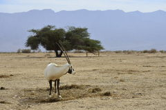 Antelope, the Arabian oryx Royalty Free Stock Photography