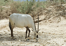 Antelope, the Arabian oryx in nature reserve, Israel Stock Images