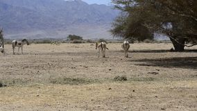 Antelope, the Arabian oryx in nature reserve, Israel stock video footage