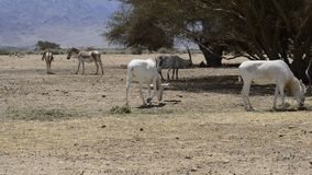 Antelope, the Arabian oryx in nature reserve, Israel stock footage