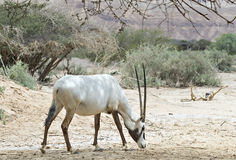 Antelope, the Arabian oryx in nature reserve, Israel Stock Photography