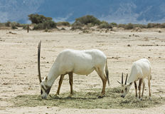 Antelope, the Arabian oryx in nature reserve, Israel Stock Image