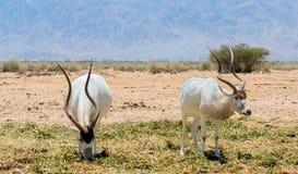 Antelope, Arabian oryx (Oryx leucoryx) in desert nature reserve near Eilat, Israel Stock Image