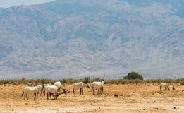 Antelope, Arabian oryx (Oryx leucoryx) in desert nature reserve near Eilat, Israel Royalty Free Stock Image