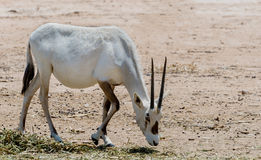 Antelope, Arabian oryx (Oryx leucoryx) in desert nature reserve near Eilat, Israel Stock Images