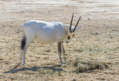 Antelope, the Arabian oryx (Oryx leucoryx) Stock Photography