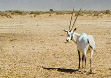 Antelope, the Arabian oryx (Oryx leucoryx) Stock Photo