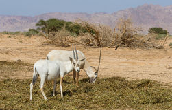 Antelope, the Arabian oryx (Oryx leucoryx) Royalty Free Stock Photo