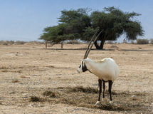 Antelope, the Arabian oryx (Oryx leucoryx) Royalty Free Stock Images