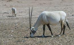 Antelope, Arabian oryx Oryx leucoryx Stock Images