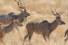 Free Antelope  At Ruaha National Park ,Tanzania East Africa. Stock Images - 105961854