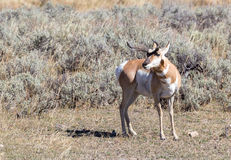 Antelope. An antelope with atypical horns in Yellowstone National Park Royalty Free Stock Photo