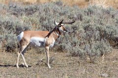Antelope. An antelope with atypical horns in Yellowstone National Park Stock Images