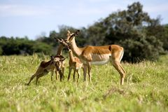 Antelope and baby. Female antelope and baby in bush Royalty Free Stock Photo