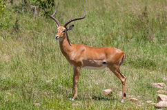 Antelope on a background of green grass Royalty Free Stock Photos