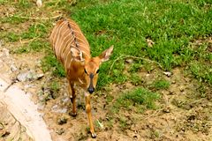 It is antelope at beautiful in the khaokheow open zoo thailand. stock image