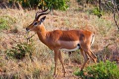 Antelope. An beautiful antelope at a natural park Stock Images