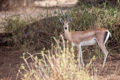 Antelope is watching, on safari in Kenya. Antelope with big horns is watching, on safari in Kenya royalty free stock images