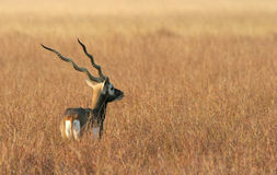 Antelope blackbuck in India Stock Photo