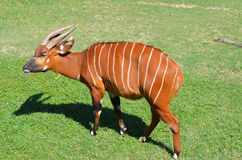 Antelope Bongo Stock Photo