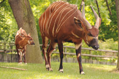 Antelope bongo Stock Photos