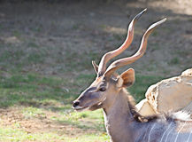Antelope Bongo Stock Images