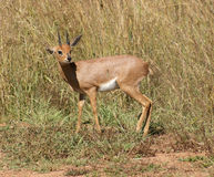 Antelope in Botswana Stock Images