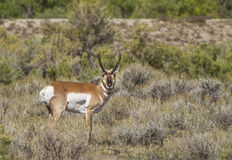 Antelope buck. An antelope buck in a field in the high desert of wyoming Stock Images