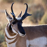 Antelope Buck Head Shot. Antelope buck close up, head looking to the right Stock Images