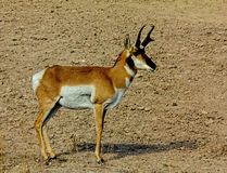 Antelope Buck Stock Photo