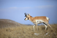 Antelope buck walking on top of ridge Stock Images