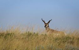Antelope Buck Royalty Free Stock Photography