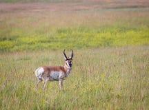 Antelope Buck Stock Photo