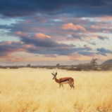 Antelope Royalty Free Stock Photos