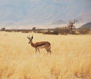 Antelope Stock Photos