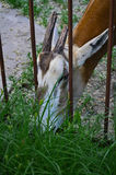 Antelope in a cage. Antelope eating grass in a cage Royalty Free Stock Photos