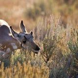 Antelope Calf Grazing Royalty Free Stock Photos