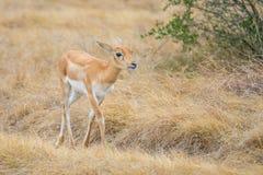 Antelope Calf Stock Photography