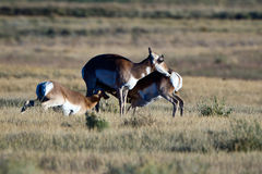 Antelope Calves Nursing. Two young antelope calves nursing Royalty Free Stock Images
